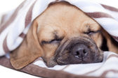 Puggle puppy — Stock Photo