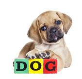 Cute Puggle puppy — Stock Photo