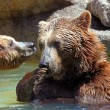 Stock Photo: Brown bear (Ursus arctos)
