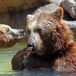Brown bear (Ursus arctos) — Stock Photo #17392849