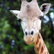 Stock Photo: Closeup of giraffe (Giraffcamelopardalis)