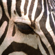 Eye of zebra (Equus quagga) — Stock Photo