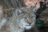 European lynx — Stock Photo