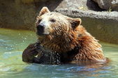 Brunbjörn (ursus arctos) — Stockfoto