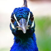 Closeup a peacock (Pavo cristatus) — Stock Photo