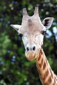 Closeup of a giraffe (Giraffa camelopardalis) — Stock Photo