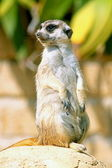 Un meerkat guardandosi intorno — Foto Stock