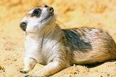 A meerkat looking around — Stock Photo
