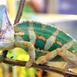 Stock Photo: Veiled chameleon, Chamaeleo calyptratus