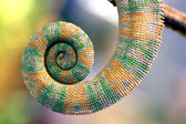 Curly tail of chameleon — Stock Photo