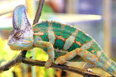 Veiled chameleon, Chamaeleo calyptratus — Stock Photo