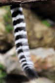 Tail of Ring-tailed lemur (Lemur catta) — Stock Photo