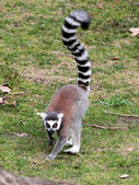 Ring-tailed lemur (Lemur catta) moving on the ground — Stock Photo