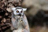 Ring-tailed lemur (Lemur catta) eating a fruit — Stockfoto