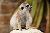A meerkat looking around — Stock Photo