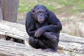 Chimpanzee (Pan Troglodytes) sitting — Stock Photo
