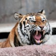 Siberian tiger (Panthera tigris altaica) showing teeth — Stock Photo #24623277