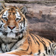 Siberian tiger (Panthera tigris altaica) lying — Stock Photo