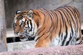 Siberian tiger (Panthera tigris altaica) walking — Stock Photo