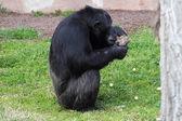 Chimpanzee (Pan Troglodytes) browsing a package — Stock Photo