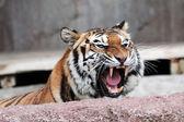Siberian tiger (Panthera tigris altaica) showing teeth — Stock Photo