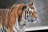 Siberian tiger (Panthera tigris altaica) looking — Stock Photo