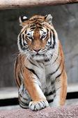 Siberian tiger (Panthera tigris altaica) approaching — Foto de Stock