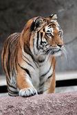 Frontal view of a Siberian tiger (Panthera tigris altaica) — Stock Photo