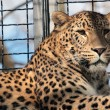 Leopard in the cage of a zoo — Stock Photo