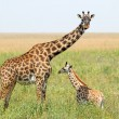 Постер, плакат: Baby giraffe and mother
