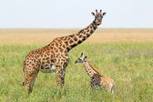 Baby giraffe and mother — Stock Photo
