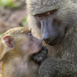 Постер, плакат: Baby and mother olive baboon Papio Anubis