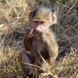 Baby olive baboon (Papio Anubis) sitting — Stock Photo #27749881