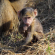 Baby olive baboon (Papio Anubis) sitting — Stock Photo