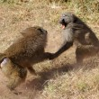 Постер, плакат: Male olive baboons Papio Anubis fighting