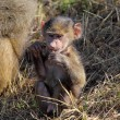 Baby olive baboon (Papio Anubis) sitting — Stock Photo #27750947