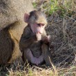 Baby olive baboon (Papio Anubis) sitting — Stock Photo