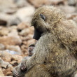 Baby and mother olive baboon (Papio Anubis) — Stock Photo #27752485