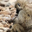 Baby and mother olive baboon (Papio Anubis) — Stock Photo