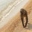 Постер, плакат: Olive baboon Papio Anubis on the beach