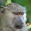 Stock Photo: Portrait of olive baboon (Papio Anubis)