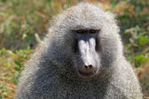 Portrait of a male olive baboon (Papio Anubis) — Stock Photo