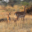 Baby impala with mother — Stock Photo #27924083