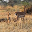 Baby impala with mother — Stock Photo