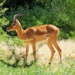 Male impala — Stock Photo #27924143