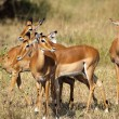 Stock Photo: Herd of impala