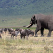 African elephant and herd of wildebeest — Stock Photo