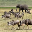 African elephant and herd of wildebeest — Stock Photo #28010989