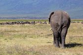 African elephant and herd of wildebeest — Stock Photo