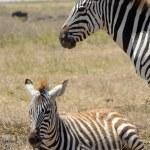 ������, ������: Baby zebra with mother